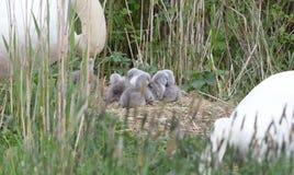 Parsvan med unga svanar arkivfoton