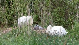 Parsvan med unga svanar royaltyfri foto