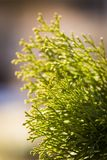 Part of arborvitae Royalty Free Stock Images