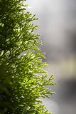 Part of arborvitae Stock Photos