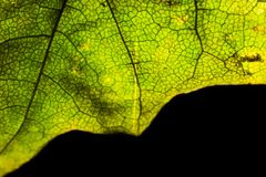 Part of an autumn green maple leaf macro isolated Stock Images