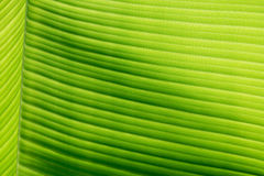 Part of banana leaf detail have hight light and shodow for backg Royalty Free Stock Image