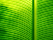 Part of banana leaf detail have hight light and shodow for backg Stock Photography