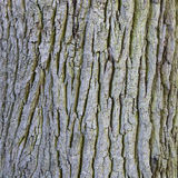 Part of bark on trunk of old oak tree. Square part of bark on trunk of old oak tree Stock Photography
