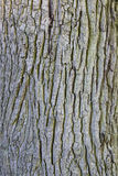 Part of bark on trunk of old oak tree Stock Photography