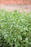 Part of basil plant Stock Photography