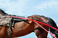Part of the bay horse in trotting harness Stock Photo