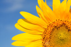 Part of beautiful sunflowers with blue sky royalty free stock photography