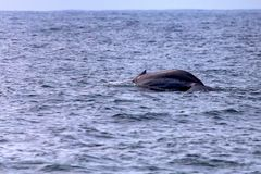 A blue whale or Balaenoptera musculus in water. Part of big Blue Whale or Balaenoptera musculus stock photography