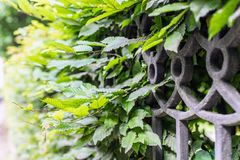 Part of black metal fence overgrown with leaves background Royalty Free Stock Image