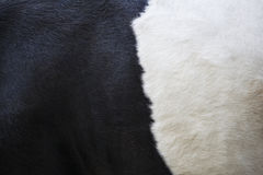 Part of black and white hide on side of cow. Part of black and white hide on side of lakenvelder cow stock photo