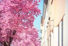Part of Blooming Pink Prunus tree against building in perspectiv. Part of Blooming Pink Prunus tree against blue sy and beige street building in perspective Stock Image