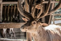 Deer with big horns. Part of the body of a deer with big horns, photo in brown tones royalty free stock images