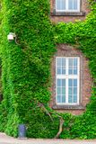 Part of the building. Overgrown with vine Royalty Free Stock Photos