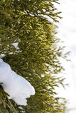 Part of bush arborvitae winter Stock Image
