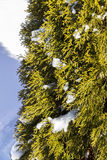 Part of bush arborvitae winter Stock Photography