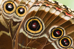 Part of butterfly wing blue Morpho Royalty Free Stock Image