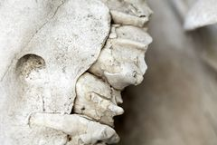 Skull Teeth. Part of a camel's skull, a few of its teeth Stock Photo