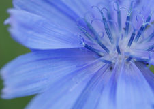 Part of the chicory flower. Stock Photos