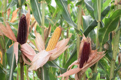 Part of corn plants Royalty Free Stock Photo