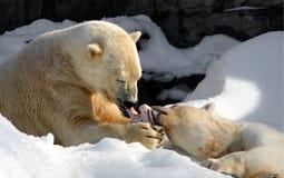 Part d'ours blanc photographie stock