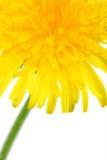 Part of dandelion flower royalty free stock photos