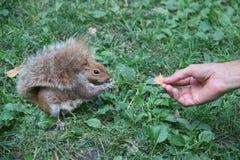 Part de main avec l'écureuil de Brown images libres de droits