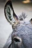 Part of a Donkey Head Royalty Free Stock Image
