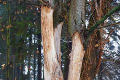 Part of a dry diseased tree with branches with fallen bark. In the park stock photography