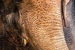 Part of elephant trunk. Closeup of part elephant trunk Stock Photography