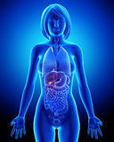 Part of Female biliary anatomy in blue x-ray Stock Photography