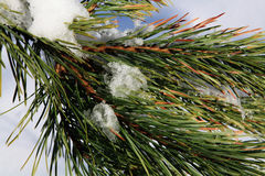 Part of fir green tree with snow Stock Photography