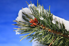 Part of fir tree with snow in January Royalty Free Stock Image