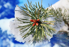 Part of fir tree strewn in winter Stock Images