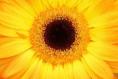 Part of the flower gerbera. Orange Royalty Free Stock Image