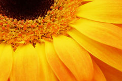 Part of the flower gerbera. Royalty Free Stock Image