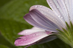 Part of the flower just after a rain Royalty Free Stock Image
