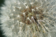 Part of the flower of white dandelion. Royalty Free Stock Photos