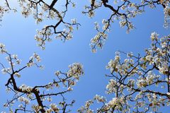 Part of the flowering old pear tree in spring Royalty Free Stock Images
