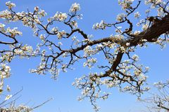 Part of the flowering old pear tree in spring Stock Photo