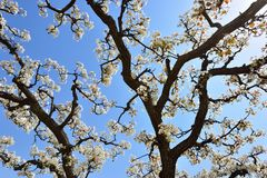 Part of the flowering old pear tree in spring Stock Images