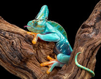 Part frog part chameleon. A creature appears to be part frog and part chameleon royalty free stock images