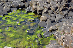 Part of Giant Causeway with rocks and seaweed in the water in Ireland Royalty Free Stock Photos