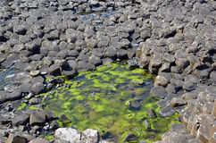 Part of Giant Causeway with seaweed between rocks and see in Ireland Stock Image
