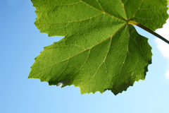 Part of grape leaf. On blue sky Stock Photography