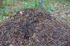 Part of a grayish brown anthill in the forest Royalty Free Stock Photo