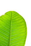 A part of green leaf. In isolate Royalty Free Stock Photography