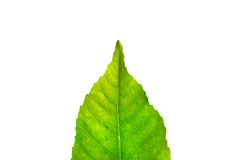 Part of green leaf Royalty Free Stock Photo
