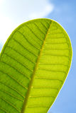 A part of green leaf with blue sky. A part of green leaf with clear blue sky Stock Photo
