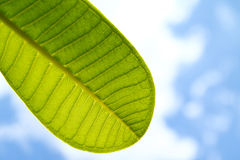 A part of green leaf with blue sky. A part of green leaf with clear blue sky Stock Images